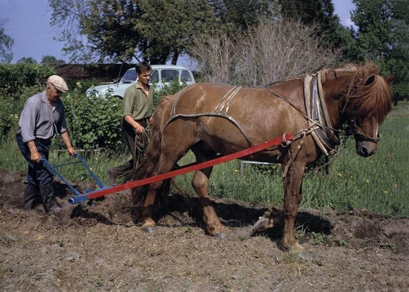 A Finnhorse