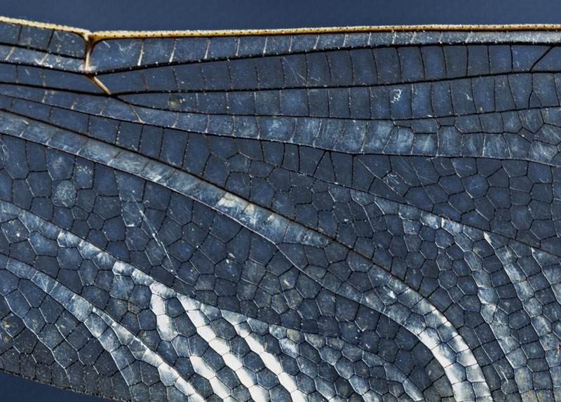 Dragonfly's wing