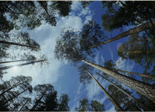 Old-growth pine forest